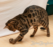 Bengal Cat Manali